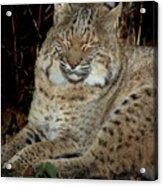 Sleepy Bobcat Acrylic Print