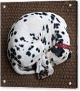 Sleeping Dalmatian II Acrylic Print