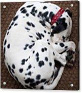 Sleeping Dalmatian Acrylic Print