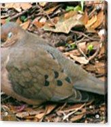 Sleeping Dove Acrylic Print