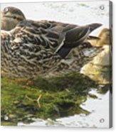 Sleeping Ducks. Acrylic Print