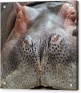 Sleeping Hippo Acrylic Print