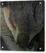 Sleeping Koala Bear Acrylic Print