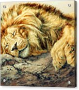 Sleeping Lion Acrylic Print