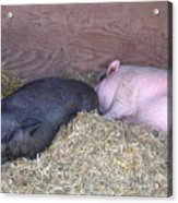 Sleeping Pigs In The Hay Acrylic Print
