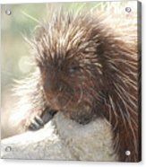 Sleeping Porcupine On A Fallen Branch Acrylic Print