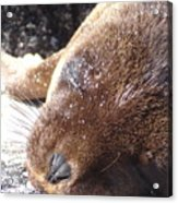 Sleeping Sea Lion Acrylic Print
