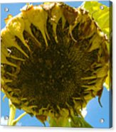 Sleeping Sunflower Acrylic Print