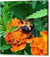 Sleepy Bumblebee Acrylic Print
