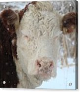 Sleepy Winter Cow Acrylic Print