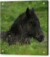 Sleepy Dartmoor Foal Acrylic Print