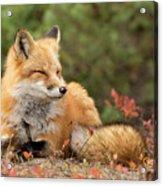 Sleepy Fox Acrylic Print
