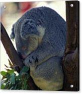 Sleepy Koala Bear Acrylic Print