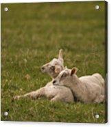 Sleepy Lamb Acrylic Print