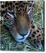 Sleepy Leopard Acrylic Print