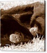 Sleepy Monkeys Acrylic Print