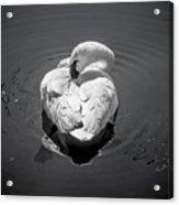 Sleepy Swan Acrylic Print