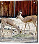 Slender-horned Gazelles In Living Desert Zoo And Gardens In Palm Desert-california Acrylic Print