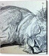Slepping Lion Acrylic Print