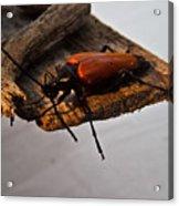 Sliding Beetle Acrylic Print