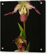 Slipper Foot Orchids Acrylic Print
