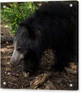 Sloth Bears Melursus Ursinusat Acrylic Print