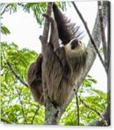 Sloth1 Acrylic Print