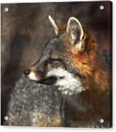 Sly As A Fox Acrylic Print