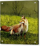 Sly Fox Acrylic Print