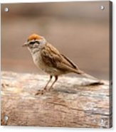 Small Bird Acrylic Print