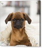 Small Brabant Griffon, Petit Brabancon, Dog  Acrylic Print
