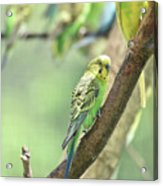 Small Budgie Birds With Beautiful Colored Feathers Acrylic Print