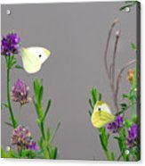 Small Butterflies Sipping Flower Nectar Acrylic Print
