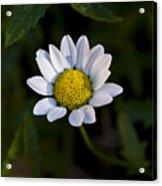 Small Daisy Acrylic Print