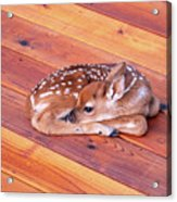 Small Deer Fawn Resting On Cedar Wood Deck Acrylic Print