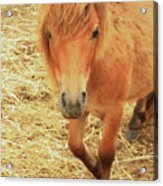 Small Horse Large Beauty Acrylic Print