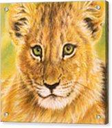 Small Lion Acrylic Print