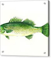 Small Mouth Bass Acrylic Print