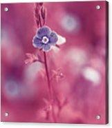 Small Romantic Violet Flower Acrylic Print