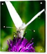 Small  White Cabbage Butterfly Pieris Rapae Acrylic Print