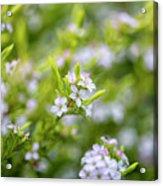 Small White Flowers Acrylic Print