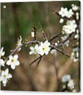 Small White Flowers Of Thorns Acrylic Print