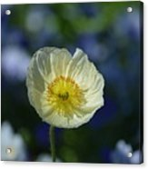Small White Poppy Acrylic Print