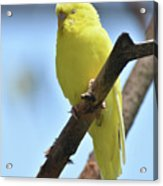 Small Yellow Budgie Parakeet In The Wild Acrylic Print
