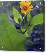 Small Yellow Flower And Green Big Leaves In The Sun Light. Acrylic Print
