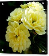 Small Yellow Roses Acrylic Print