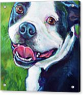 Smiling Boston Terrier Acrylic Print