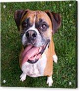 Smiling Boxer Dog Acrylic Print