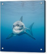 Smiling Great White Shark Acrylic Print by Dave Fleetham - Printscapes