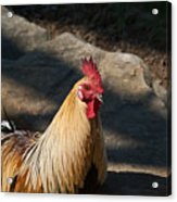 Smiling Rooster Acrylic Print